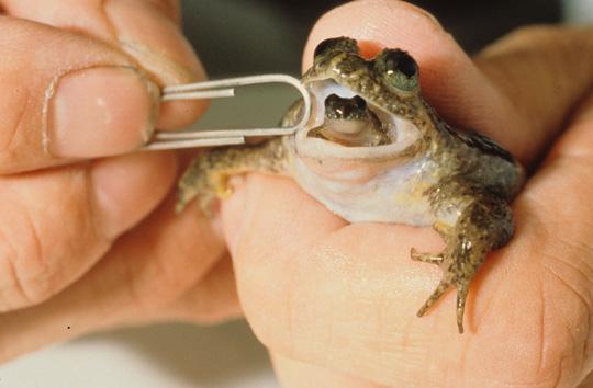 Magenbrüterfrosch